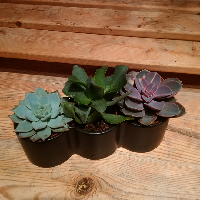 Trio succulentes, 2.5 po, couleurs assorties