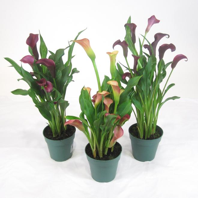 Assorted Calla Lily 4 5 Grower Pot F0210 Reno Depot