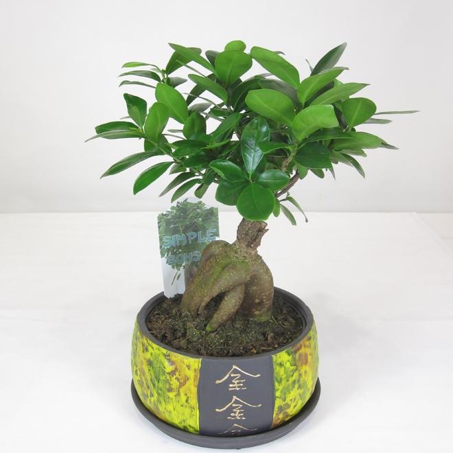 Ficus Ginseng nain (Bonsai), pot en céramique de 6''