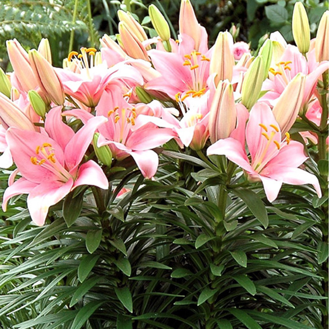 Easter Lily - 6-in Grower Pot - Assorted Colours