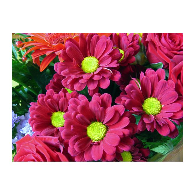 Spring Assorted Chrysanthemum - 6-in Grower Pot