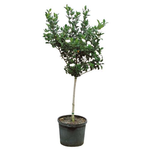 "Gardenia Standard 10"""
