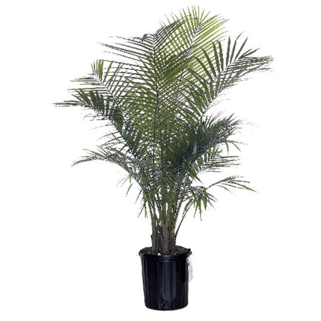 """10"""" Majesty Palm"""