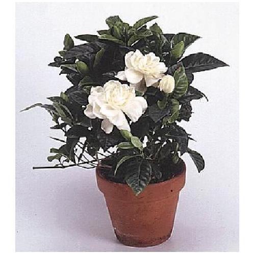 Gardenia Bush - 6'' Terra Cotta Pot