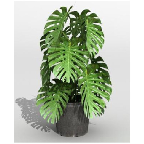 "Philodendron Pertusum - 10"""